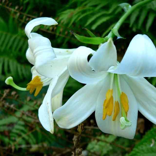 this Lilium candidum flower is dangerous to cats
