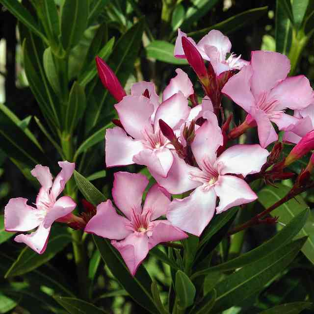 this pink Nerium_oleander is a dangerous flower for cats