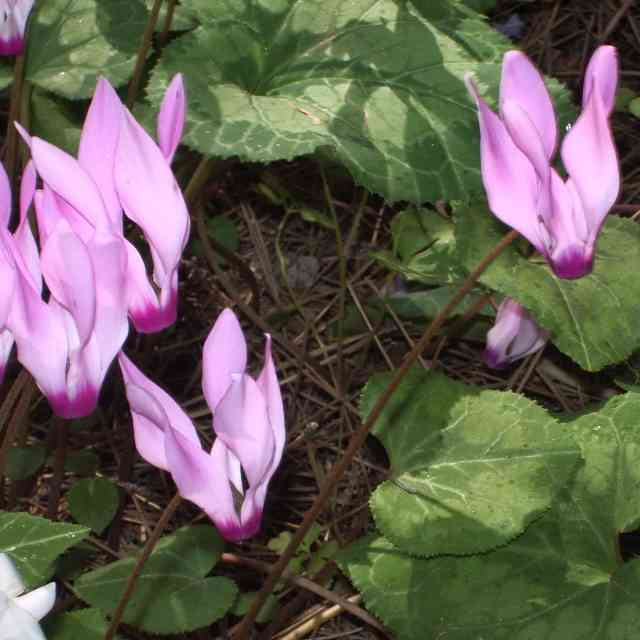 these purple Wild cyclamens are dangerous to cats